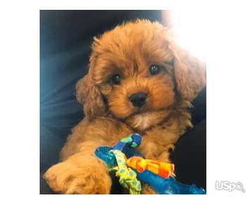 cavapoo puppy puppies available