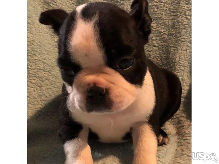 Boston Terriers Puppies