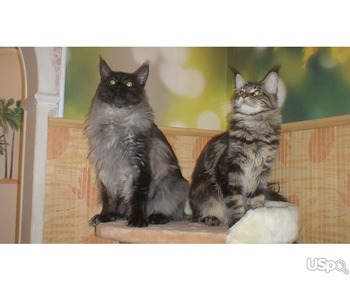 Maine Coon Kittens Pedigreed from Russia whith documents and vacinated