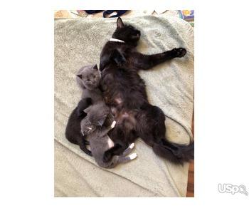 Scottish Fold / Straight / Siberian Пушистые Котята