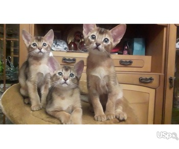 abyssinian kittens. Абиссинские котята