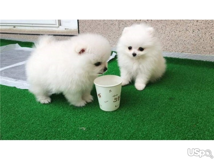 Available Pomerania Puppies