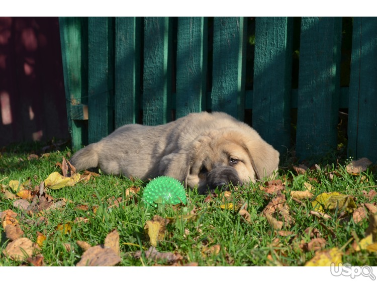 Puppies of Spanish mastiff