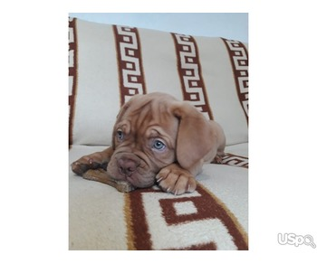 Elite puppies of dogue de bordeaux are on sale