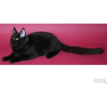 Meincoon kittens