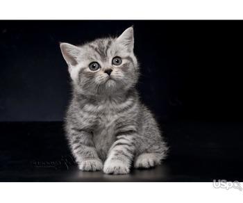 Британские котята - серебристая пятнистая девочка