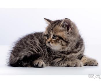 Британские котята - шикарная девочка черное пятно