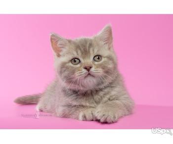 Британские котята - лиловый пятнистый мальчик
