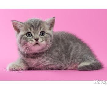 Британские котята - голубой пятнистый мальчик
