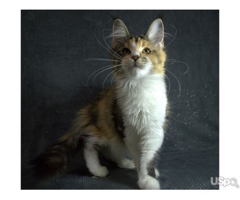 Kitty Maine Coon
