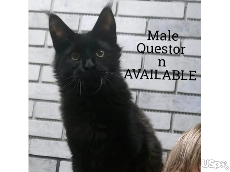 MAINE COON Questor