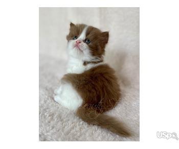 cinnamon kittens