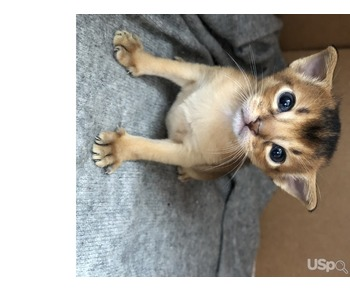 Продам котят абиссинской породы