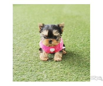 Micro Teacup Puppies for sale | From Top Breeder