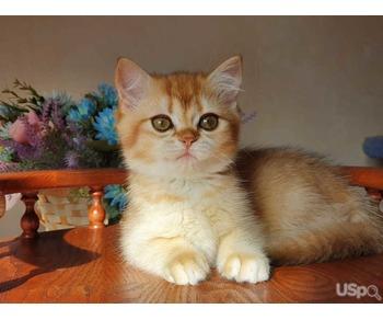 British kitten Gabrielle