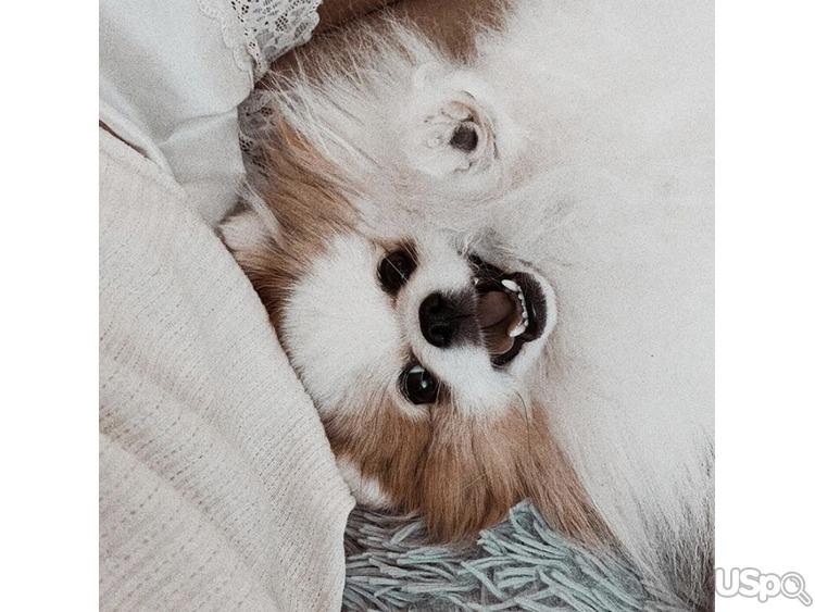 Вязка Pomeranian