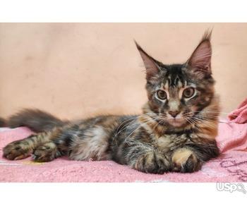 Продам котенка мейн-куна из питомника