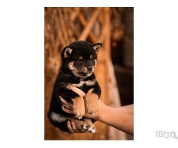 Puppies shiba inu
