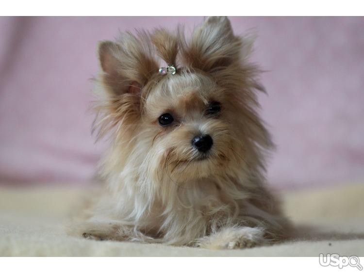 Yorkshire Terrier- golden color