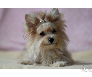 Yorkshire Terrier- golden color