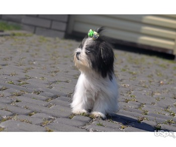 Shih tzu tea-cup, girl
