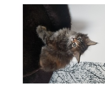 Котята менн-куна