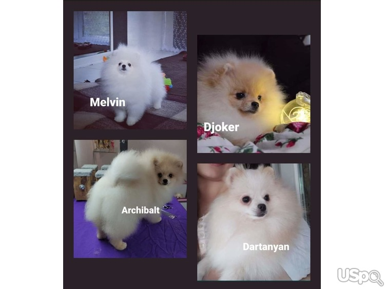Sale Adult Pomeranian from Ukraine