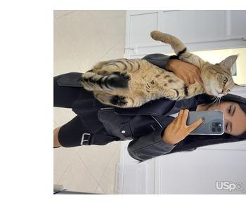 Chausie F1. Kitten like Timati ????
