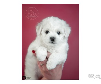 Bichon Frize puppies
