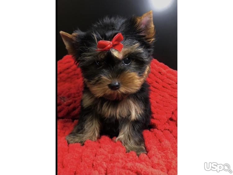 Puppy Yourkshire terrier