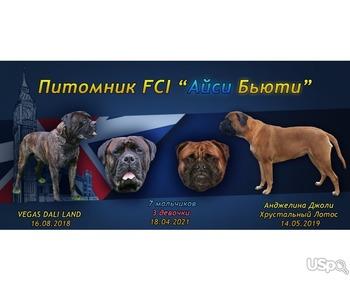 Bullmastiff high-bred puppies