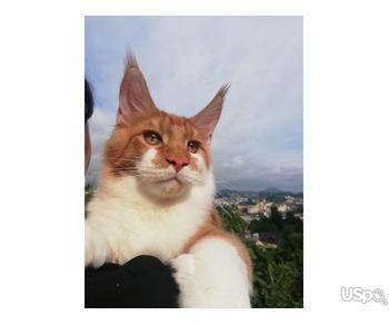 Котенок мейн-кун из питомника в России