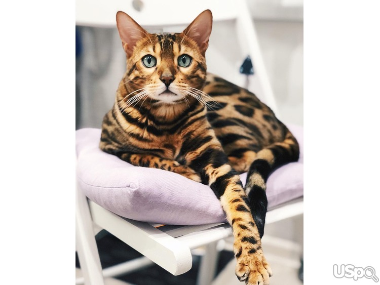 Sale of Bengal kittens
