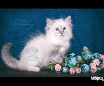 elite Siberian kittens from the top cattery