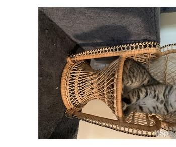 Scottish fold and Scottish straight kittens