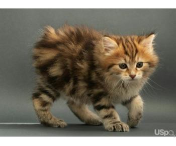 Кошечка породы Курильский бобтейл
