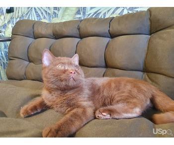 Британский циннамоновый кот