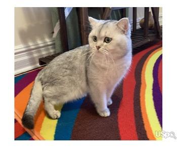 Шотландский котик ищет невесту