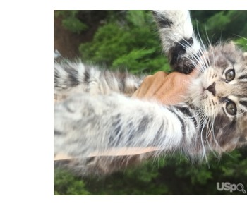 Мейн Кун котята