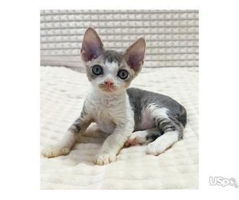 Продаются ласковые котята девон-рекс.