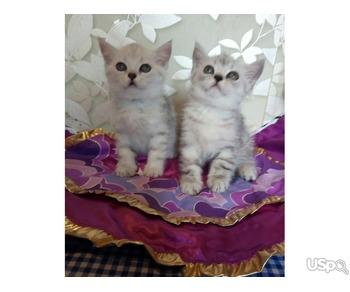 Шотландские короткошерстные прямоухие котята  серебро и золото.Родословная