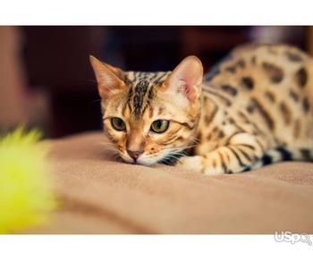 Sending pedigree kittens from Ukraine to the USA