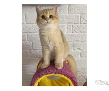Golden british kitten