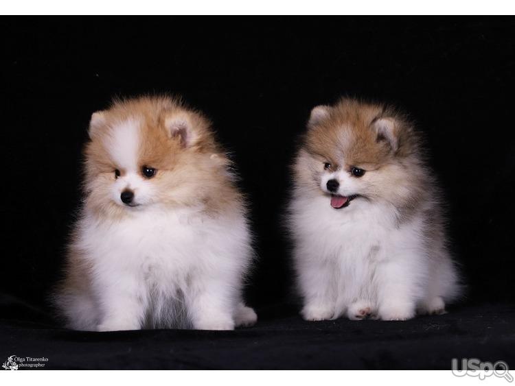 продам щенков померанских(окрас пати-колор)