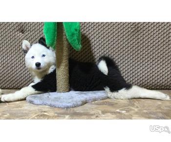 Yakutian Laika puppies