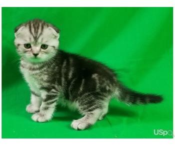 Котята scottish fold и scottish straight ждут любящих хозяев