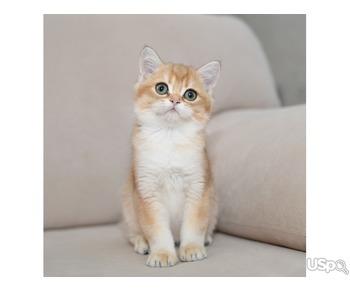 British Golden kittens