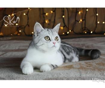 Шотландские мраморные котята с клубными документами о происхождении!