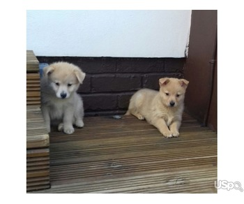 Trained Pomsky puppies available text (201) 623-3611