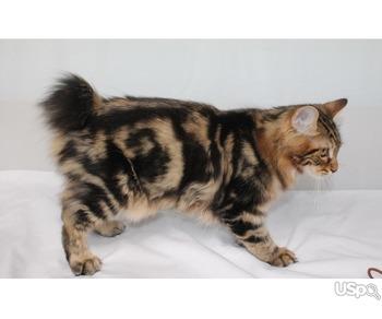 Котик породы курильский бобтейл